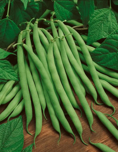 beans, bush – green podded | product categories | american seed co.