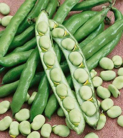 Beans, Fava Broad Windsor