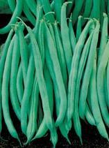 Beans, Tenderette