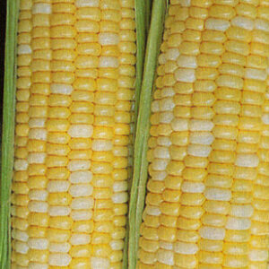 Sweet Corn, Butter & Sugar