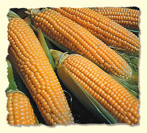 Sweet Corn, Iochief