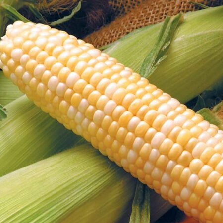Sweet Corn, Providence