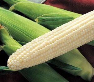 Sweet Corn, Silver King