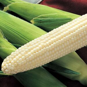 Sweet Corn, Silver King