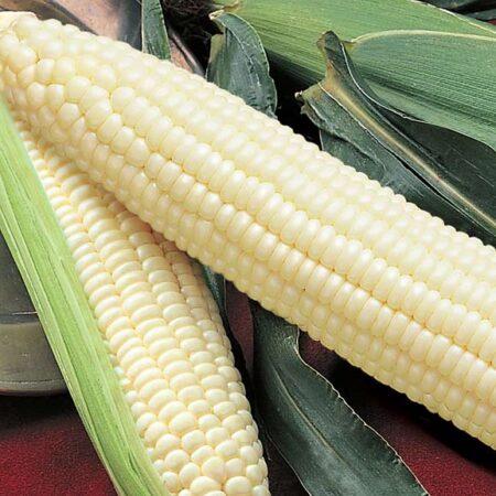 Sweet Corn, Silver Queen