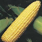 Sweet Corn, Sweetie 82