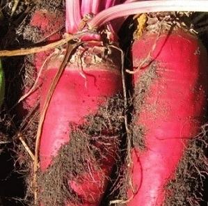Beets, Mammoth Red Fodder