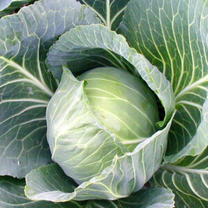 Cabbage, Golden Acre