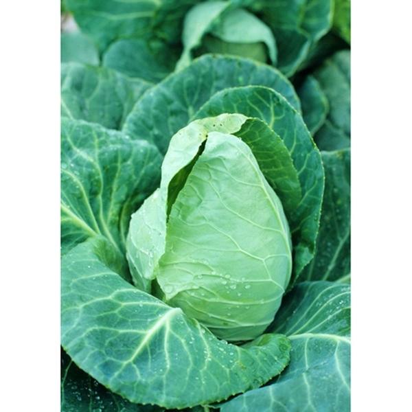 Cabbage, Jersey Wakefield