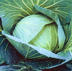Cabbage, Premium Late Flat Dutch