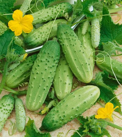 Cucumbers, Boston Pickling