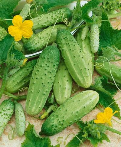 picking cucumbers