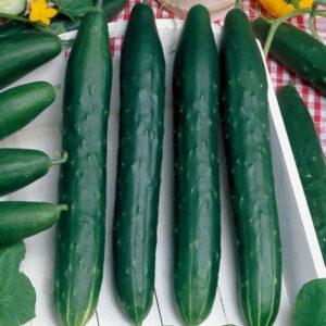 Cucumbers, Burpless 26