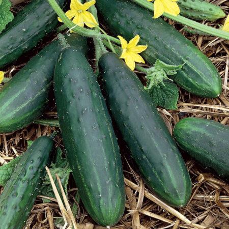 Cucumbers, Spacemaster Bush