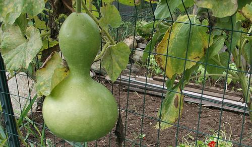 Gourd, Birdhouse