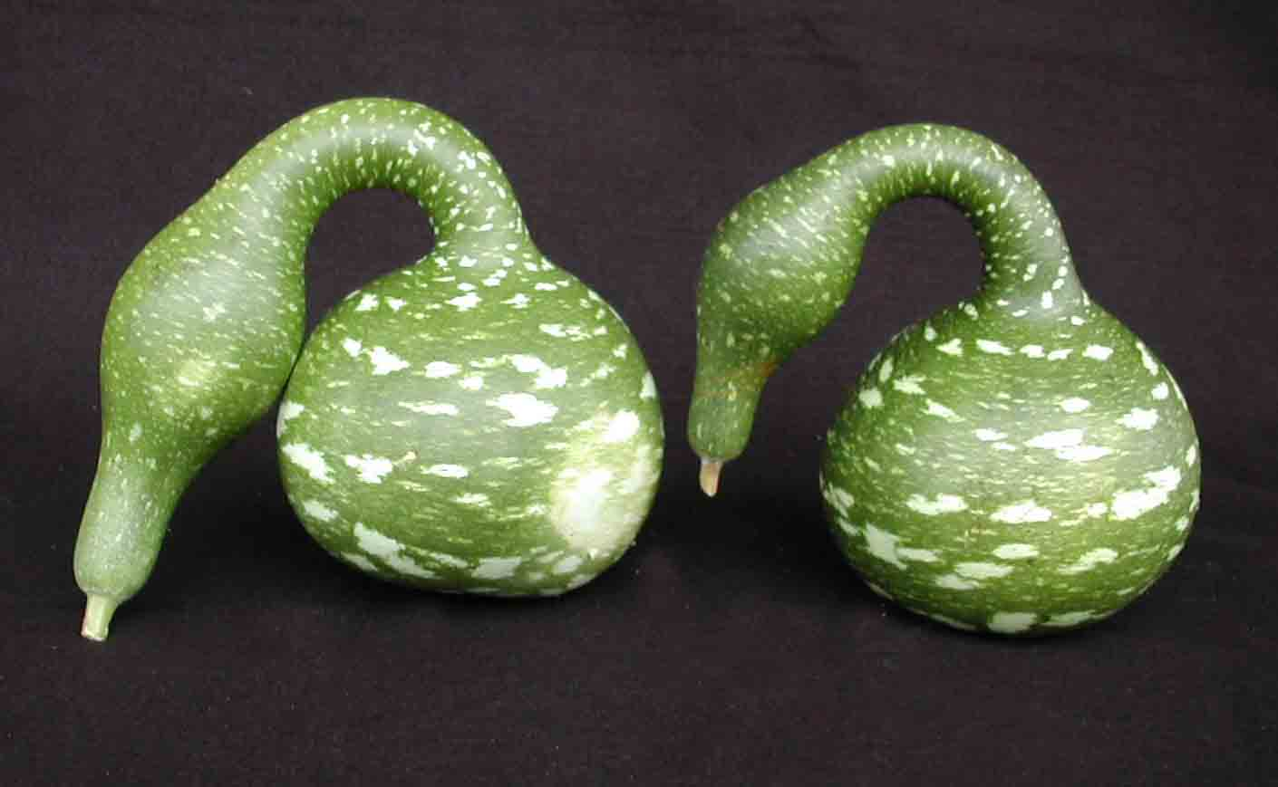 gourd swan goose 100 days american seed co