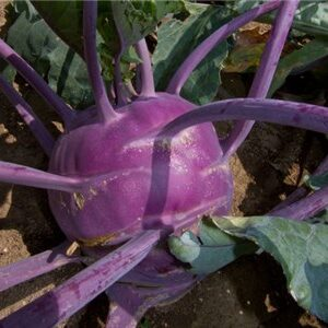 Kohlrabi, Early Purple Vienna
