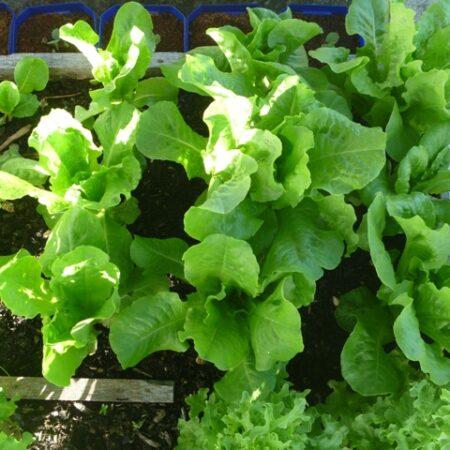 Lettuce - Heading Varieties