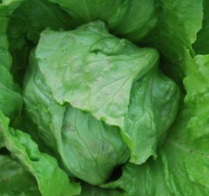 lettuce great lakes