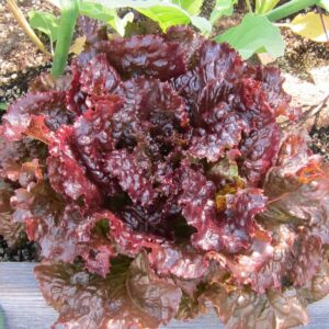 Lettuce, Red Sails