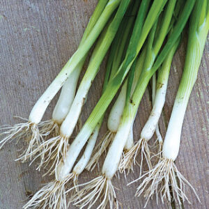 Onion, Long White Bunching