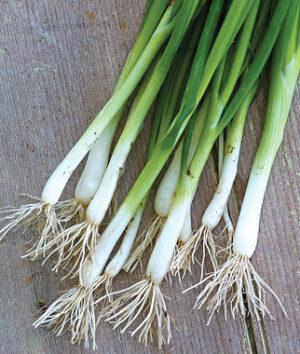Onion, Long White Bunching