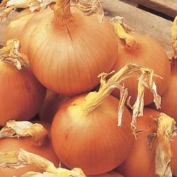 Onion, Set, Globe