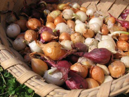 Onion Sets, Oversize