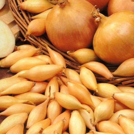 Onion Sets, Stuttgarter