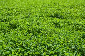 Clover, Bucks a Plenty