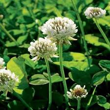Clover, White Dutch