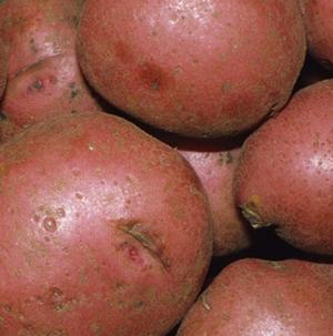 Potatoes, Chieftain