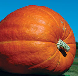 Pumpkins, Atlantic Giant