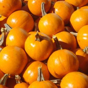 Pumpkins, Baby Pam