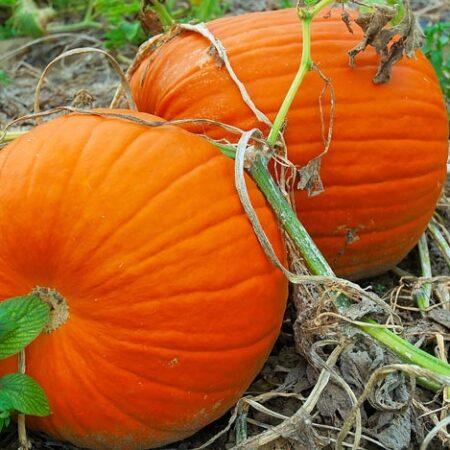 Pumpkins, CT Field