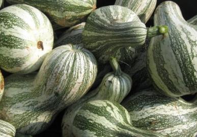 Pumpkins, Cushaw Green Stripe