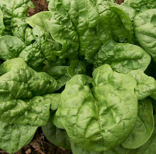 Spinach, Bloomsdale