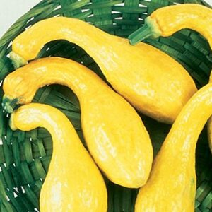 Squash - Summer Varieties