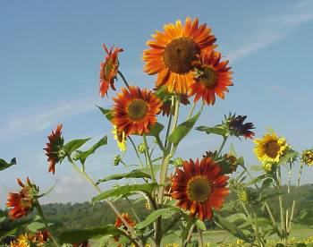 Sunflower, Autumn Beauty
