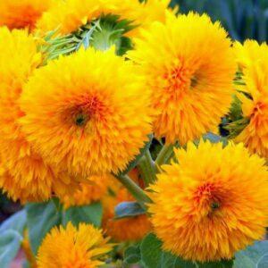 Sunflower, Dwarf Sungold