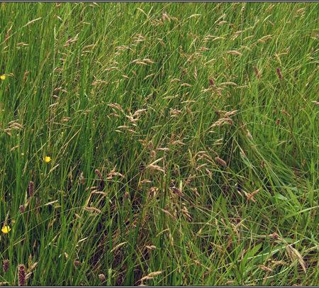 Bromegrass