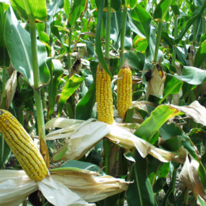 Corn, Open Pollinated