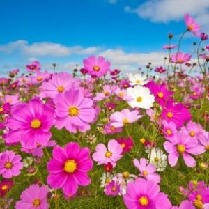 cosmos sensation mix flowers