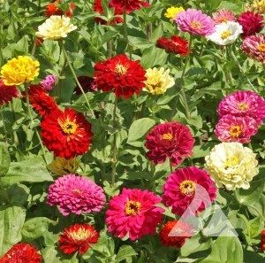 zinnia american mixture flower