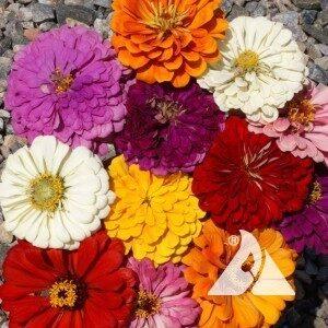 zinnia cal giant flower