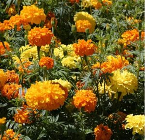 crackerjack marigold flowers