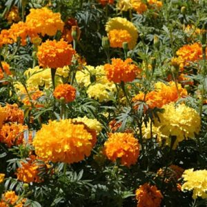 crackerjack marigold flowers