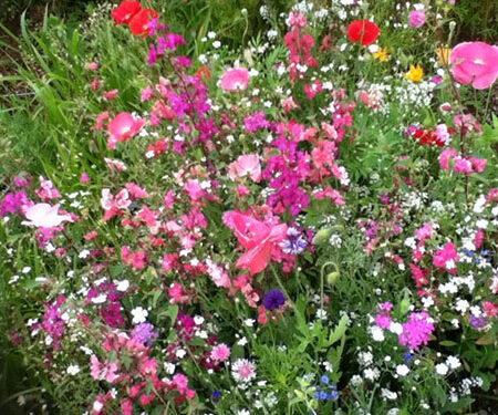 cosmos sensation mix flowers