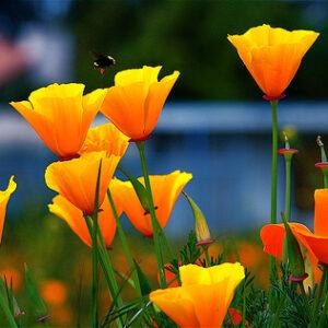 poppy ca flowers
