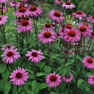 purple coneflowers